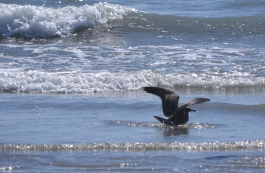Seagull bathes in Santa Monica, CA.