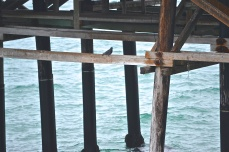 Bird under the Santa Monica Pier, CA