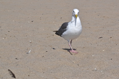 Seagulls love to pose in hopes they'll get food in exchange. Santa Monica, CA.