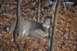 Bambi poses for camera. Potomac, Maryland.