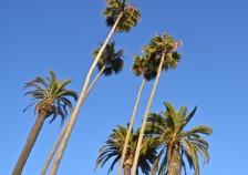 Palm trees, Los Angeles, CA