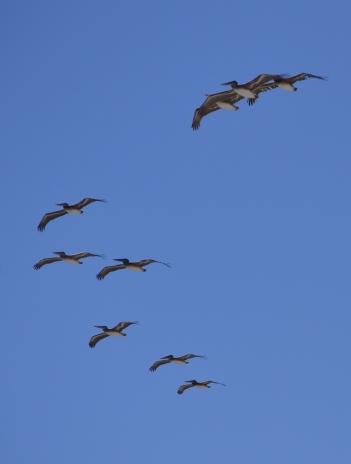 Pelicans on Santa Monica Bay.