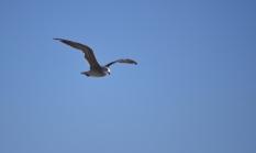 Seagull. Santa Monica, CA