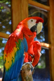"""Rosa"" is a Scarlet Macaw, who lives in a Bed and Breakfast in Southeast Brazil."