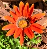 Orange daisy in my garden. LA, CA.