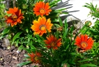 Orange daisies. My garden, Los Angeles, CA.