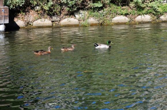 Ducks-DSC_6659