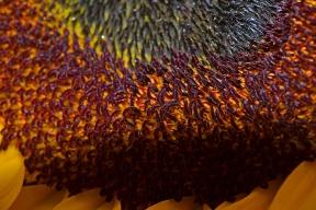 SunflowerMacro-DSC_0940