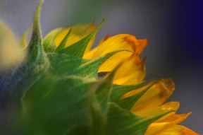 SunflowerMacro-DSC_0997