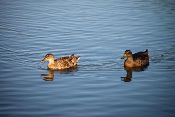 DucksWeb-DSC_1023