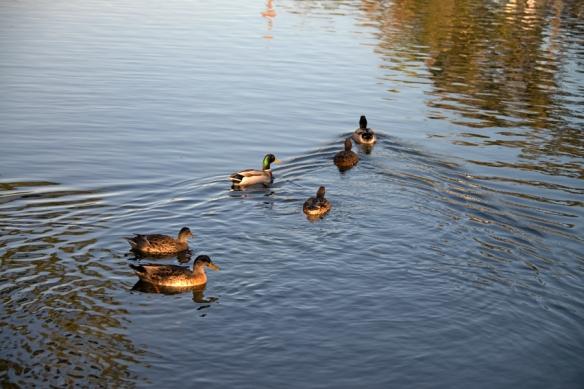 DucksWeb-DSC_1034