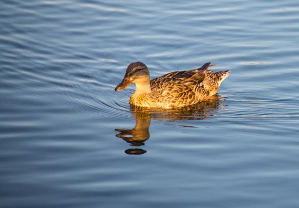 DuckWeb-DSC_1024
