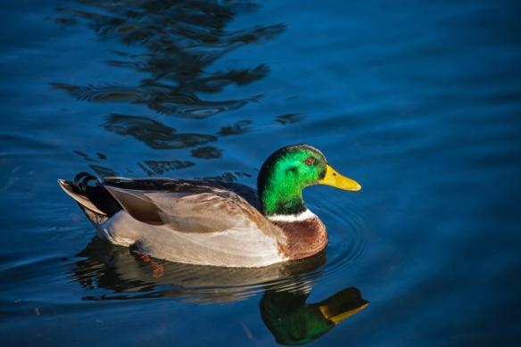DuckWeb-DSC_1043