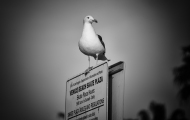 Seagulls are everywhere. This one owns the Skateboard Plaza...