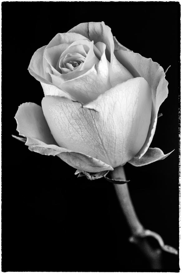 Flowers-B&W-Web-DSC_1356